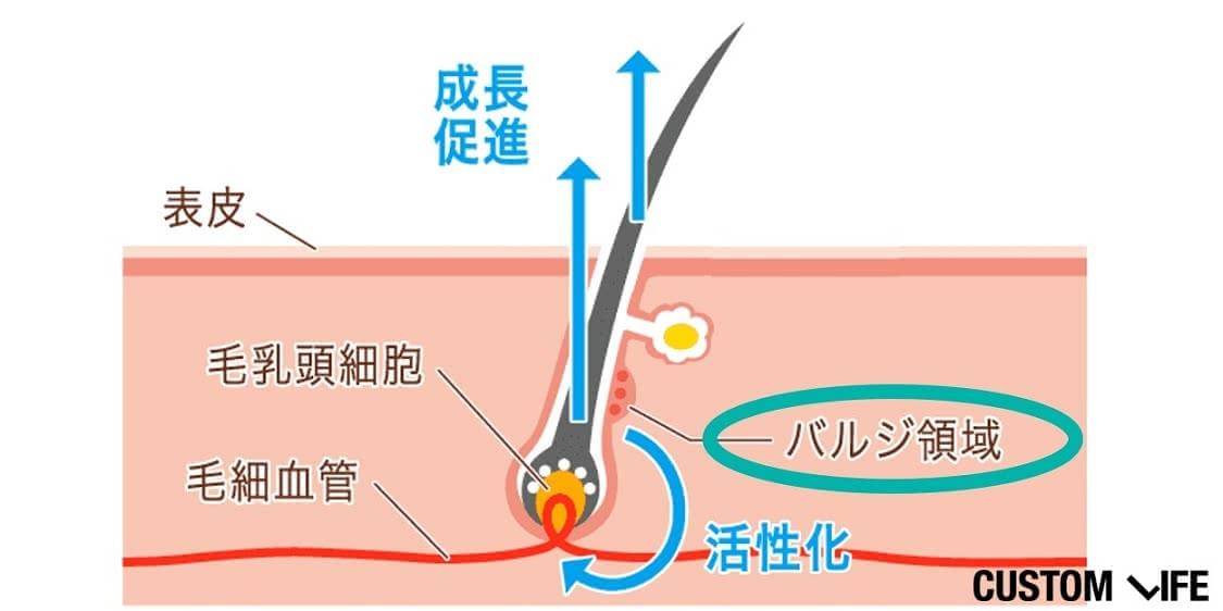 バルジ領域の図示