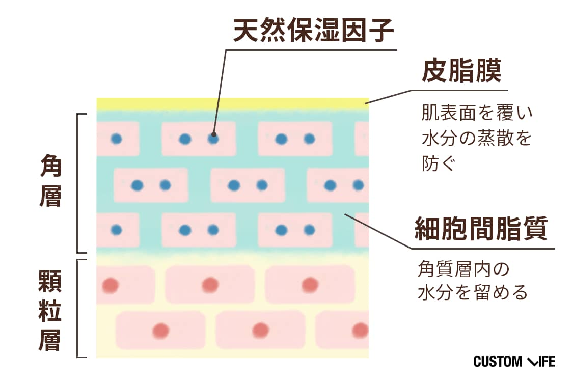 肌表面には水分の蒸散を防ぐ皮脂膜、角層には天然保湿因子・細胞間脂質が潤いを保っている
